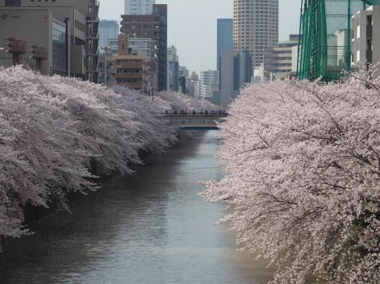 TOKYO : sakura à la rivière MEGURO