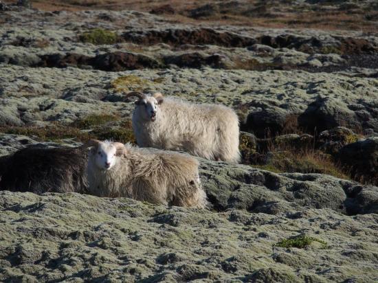 Moutons : en ISLANDE il y en a deux par habitant