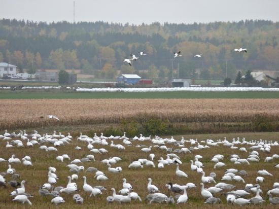 CANADA : QUÉBEC : la migration des oies des neiges