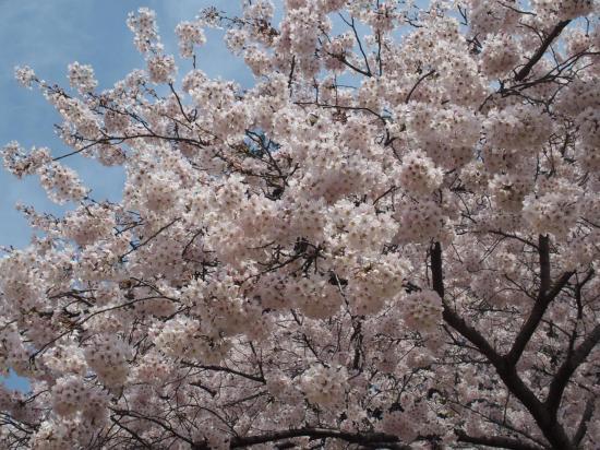 Les cerisiers blancs ont une floraison très dense