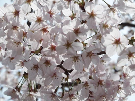 Les fleurs blanches sont bien plus grosses qu'en FRANCE