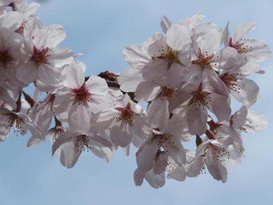 Les fleurs cachent carrément la branche