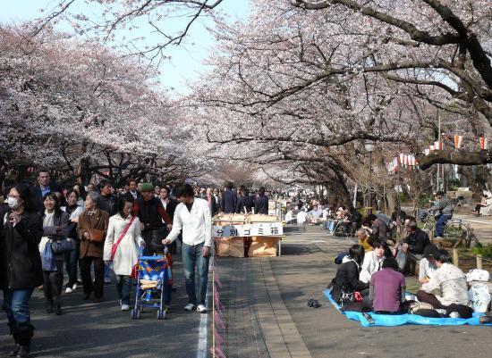 La fête des cerisiers en fleurs