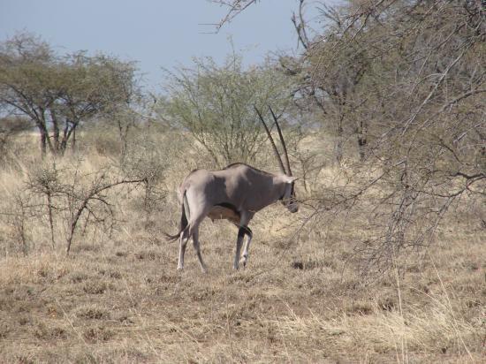 Awasch et les oryx